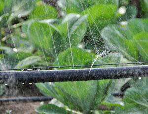 Полив теплиц дождеванием